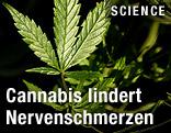 Cannabis-Pflanze