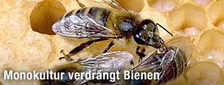 Bienen auf einer Wabe bei der Pflege ihrer Brut