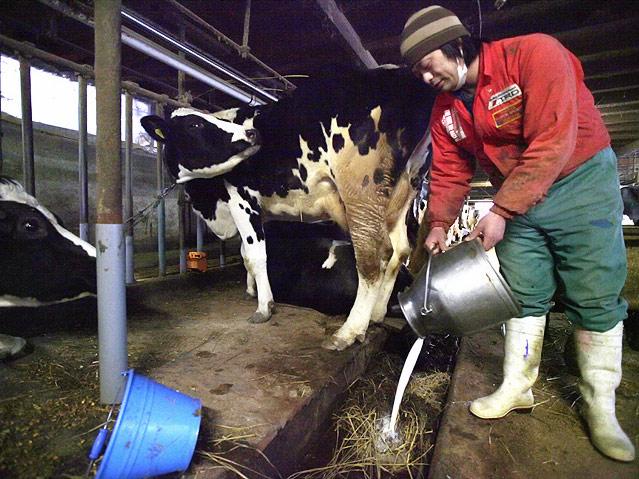 Milchbauer schüttet verstrahlte Milch weg