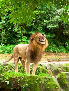 Löwe brüllt