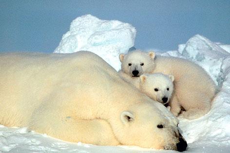 Eisbären in Alaska (USA)