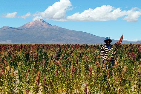 Ein Bauer steht in einem Quinoa-Feld