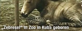 """""""Zebresel""""-Fohlen von einem Esel und einem Zebra"""