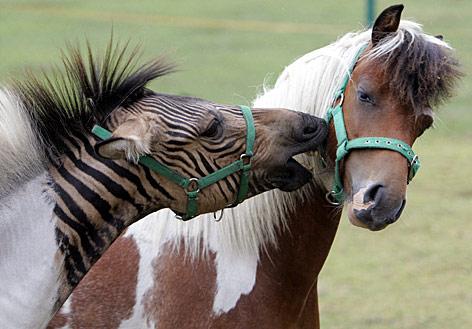 Zebra-Esel