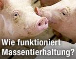 Zwei Schweine in einem Mastbetrieb