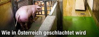 Ein Schwein in einem Schlachthof