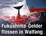 Getöteter Wal wird auf ein Walfangschiff gezogen