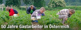 Gastarbeiter bei der Erdbeerernte