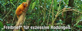 Goldenes Löwenäffchen sitzt auf einem Baum im brasilianischen Regenwald