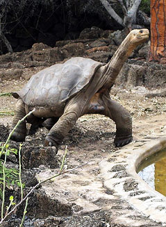 Galapagos Schildkröte Lonesome George