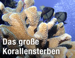 Koralle der Gattung Pocillopora im Great Barrier Reef