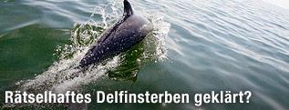Ein Flaschennasendelfin schwimmt im Golf von Mexiko