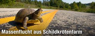 Schildkröte auf Straße