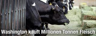 Kühe fressen Heu in einem Stall