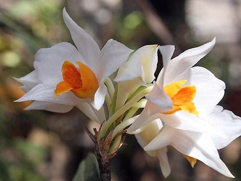 Weiße Blume mit oranger Blüte