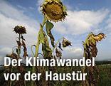 Vertrocknete Sonnenblumen