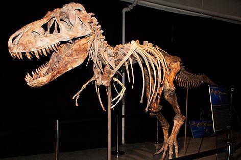 Ein Tyrannosaurus Bataar