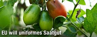 Tomatenpflanze mit Früchten
