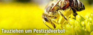 Biene auf einer Rapsblüte
