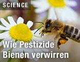 Biene auf einer Kamillenblüte