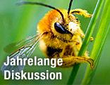Biene auf Grashalm