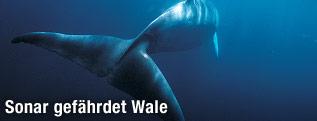 Zwergwal unter Wasser