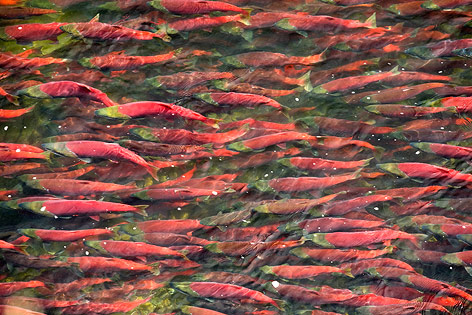 Wildlachs in einem Fluss in der Bristol Bay