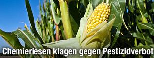 Maiskolben auf einem Maisfeld