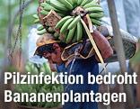 Ein Mann trägt eine Bananenstaude
