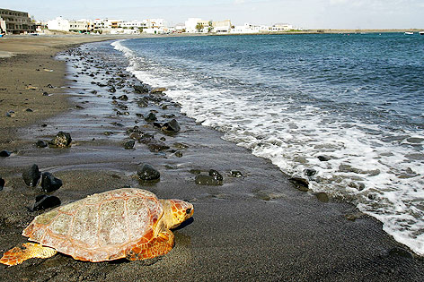 Schildkröte sucht sich den Weg zurück in das Wasser, Puerto Lajas, Fuerteventura, Kanarische Inseln