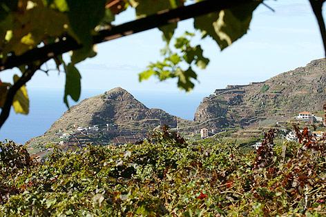 Weinberge in Estreito de Camara de Lobos, Madeira