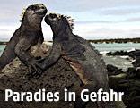 Zwei Echsen auf den Galapagos Inseln