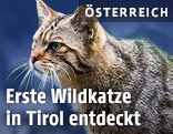 Wildkatze