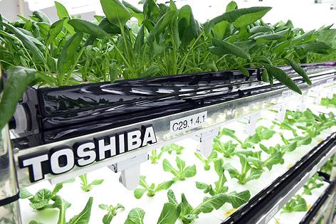 Salatzucht von Toshiba