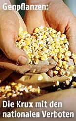 Zwei Hände, die Mais aus einem Futtersack entnehmen