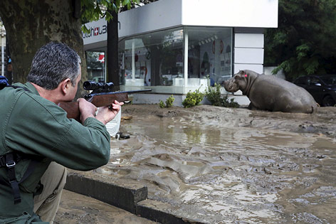 Nilpferd in Tiflis