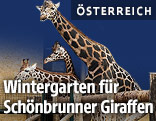Giraffen in Schönbrunn
