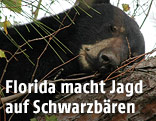 Schwarzbär schläft auf einem Baum