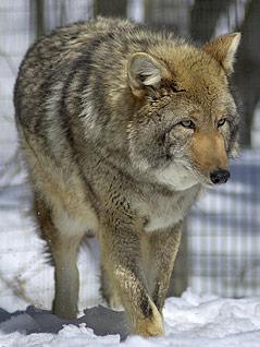 Koyotenwolf