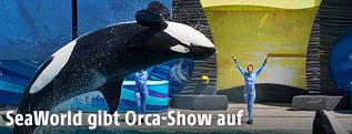 Ein Orcawal während einer Show in SeaWorld San Diego