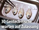 Fische in einem Labor