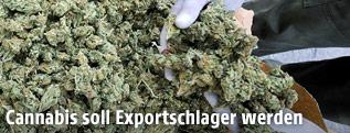 Getrocknetes Marihuana in Kolumbien