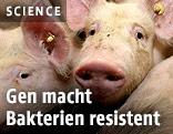 Schweine in einer Stallung