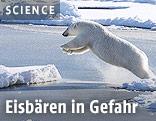 Eisbär springt auf eine Eisscholle