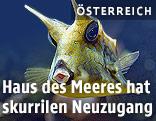Kuhfisch in einem Aquarium des Haus des Meeres