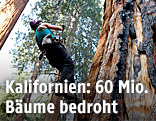 Ein Biologe klettert auf einen großen Baum in Kalifornien
