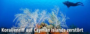 Korallenriff bei den Cayman Islands