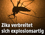 Aedes-aegypti-Molikto