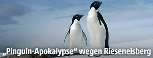 Adeliepinguine in der Commonwealth-Bucht