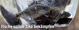 Sambofische